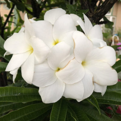 Native Flower, Kauai, Hawaii; photo by Kathy Leonardo; courtesy of ETG