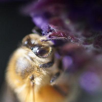 Garden Bee on Flower photo by Richard Bilow; courtesy of ETG;