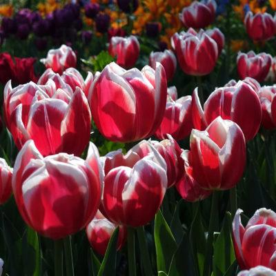 Descanso Gardens, tulips; photo by Richard Bilow; courtesy of ETG;