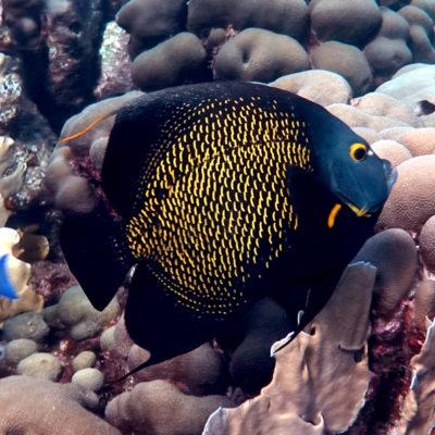 Angel Fish, Bonaire, Photo by Richard Bilow; courtesy of ETG