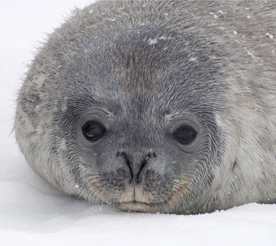 Weddell Seal Pup, photo by J.J. L'Heureux