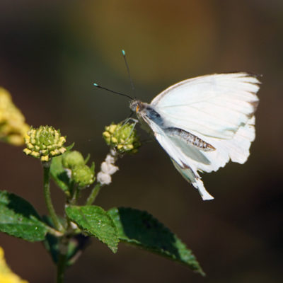 Great Southern White butterfly at the Butterfly Pavillion at the Natural History Museum; photo by Richard Bilow; courtesy of ETG