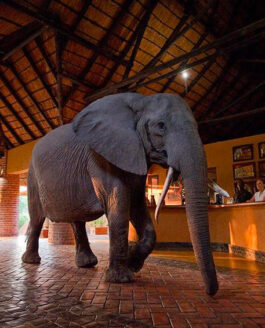 Africa, Republic of Zambia, South Luangwa, Mfuwe Lodge